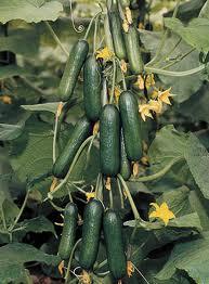mini cucumber plant